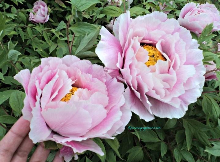 Bunga Peony yang Mempesona