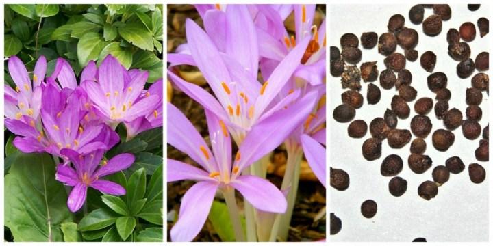 10 Tanaman Beracun Jauhkan dari Anak-anak. Colchicum autumnale. Herbstzeitlose. Autumn crocus. . Foto dari Wikipedia