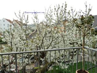 Makin Indah ya. Bunga-bunga Pohon Cerinya sudah Lebat Sekali. Foto 4 April 2014 jam 8 Pagi