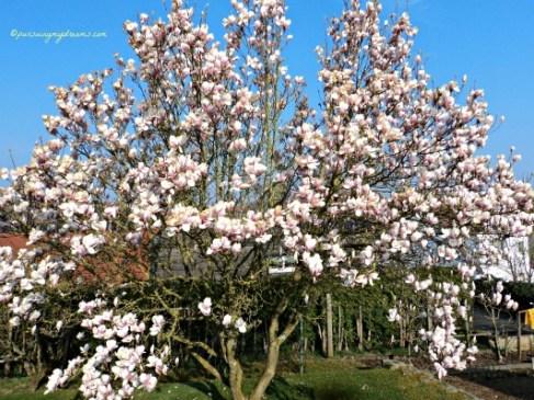 Pohon Magnolia yang sama