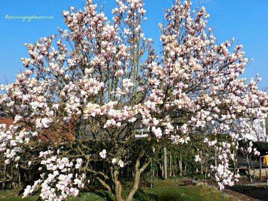 Pohon Magnolia yang sama. Saya potret di Bad Wimpfen