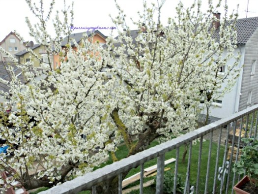 Setiap pagi semakin cantik saja pohon ceri tetanggaku ini. 5 April 2014 jam 8.18 Pagi