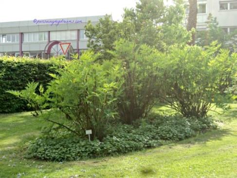 Tanaman Bunga Peoni Ludlowii, seperti semak belukar ketimbang Pohon