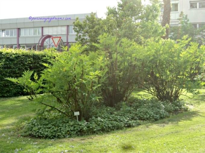 Ludlow's Tree Peony Species tanaman berkayu Peoni Ludlowii