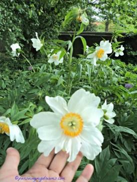 Tetap Cantik kan yaa walau Peony nya kecil dan bunganya hanya satu lapis