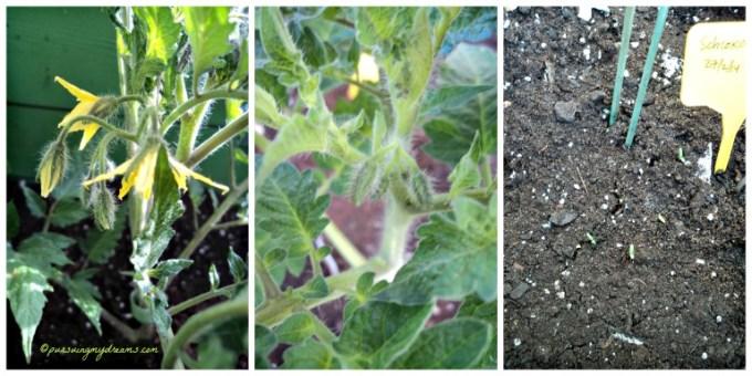 2 Jenis tomat sudah nampak bunganya. Benih Marigold juga mulai tumbuh