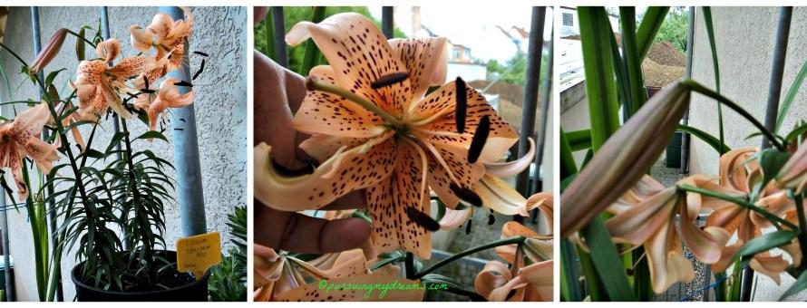 Bunga Lili dan Perawatannya