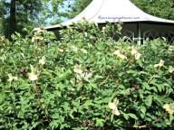 Bunga-bunga Peonynya sudah rontok, terlihat banyak buahnya, didalamnya adalah bijinya