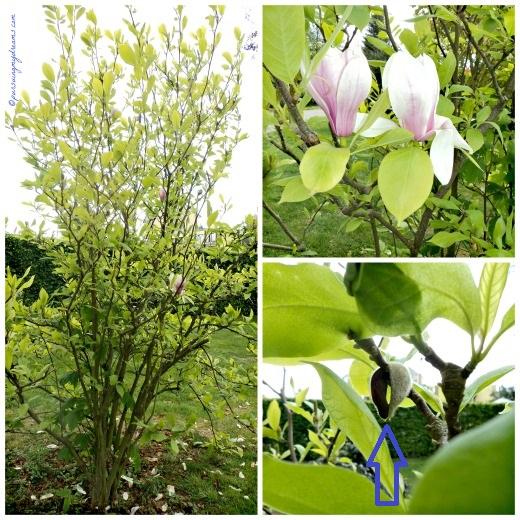 Pohon Magnolia. Saya kira yang menggantung bijinya ternyata sudah kosongg