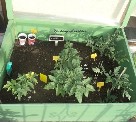 Senangnya saya tomat-tomatnya tumbuh subur. Foto 22 Mei 2014