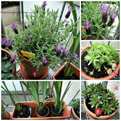 Tanaman-tanaman di Tangga masuk rumah. Ada Spanish lavender, Iris air, Sempervivum. Cemara kecil sudah hampir mati tidak perlu dipotret