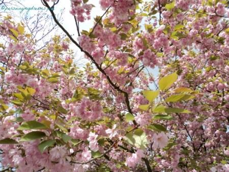 Cantiknya Cherry Blossom