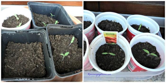 Nanam Bibit Tomatnya di wadah kecil dulu, setelah tumbuh beberap daun baru pindah ke wadah lebih besar