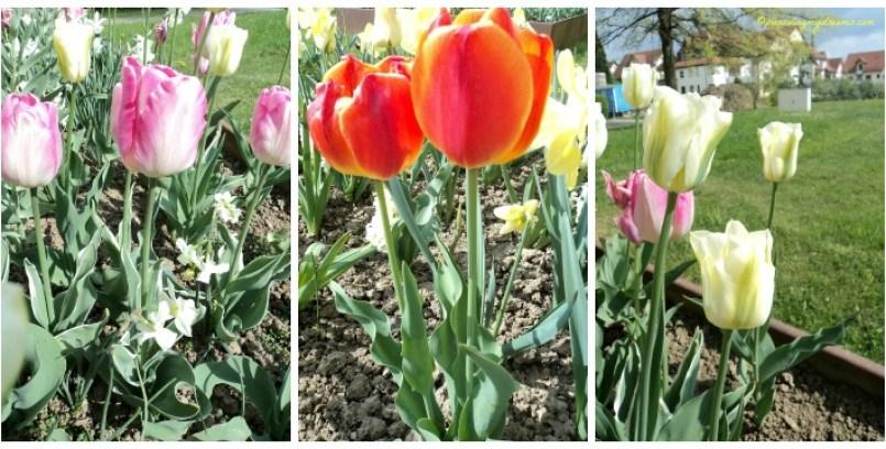 Yang Mana Tulip Favoritmu
