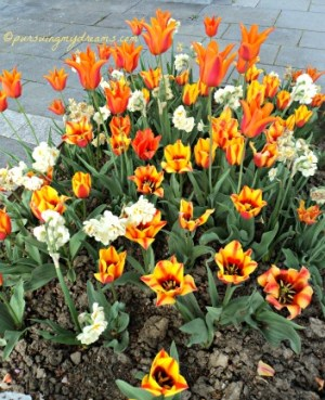 Kombinasi tulip orange dan Daffodil dobel flower