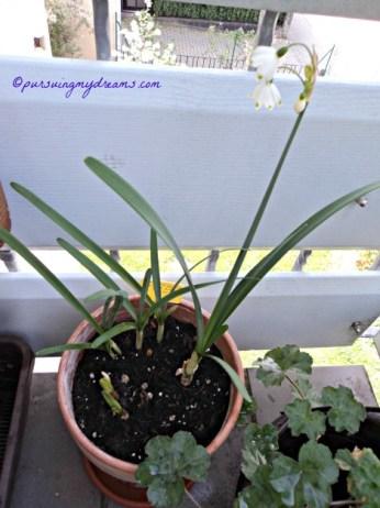 Loddon Lily kalau dilihat sekilas mirip dengan Lily of the Valley.