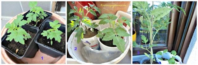 Setelah tanaman tomatnya agak besar berikan tanah baru dan pindahkan ke wadah lebih besar. Foto 25 April 2014