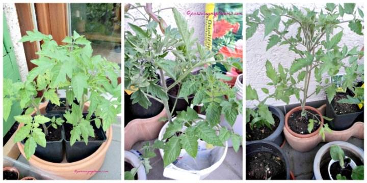 Tanaman Tomat-tomatku Semakin suburr. Siap dipindah ke Wadah besar nih. Foto 17 April 2014