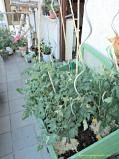 Tomat-tomatku sudah banyak sekali bunganya, tinggal tunggu buahnya