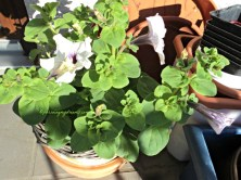 Walau hanya 2 Petunia yang berhasil tumbuh saya puas karena dari satu tanaman saja banyak sekali bunganya