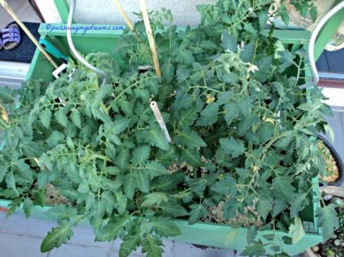 Tampak depan beginilah tanaman tomat-tomatku