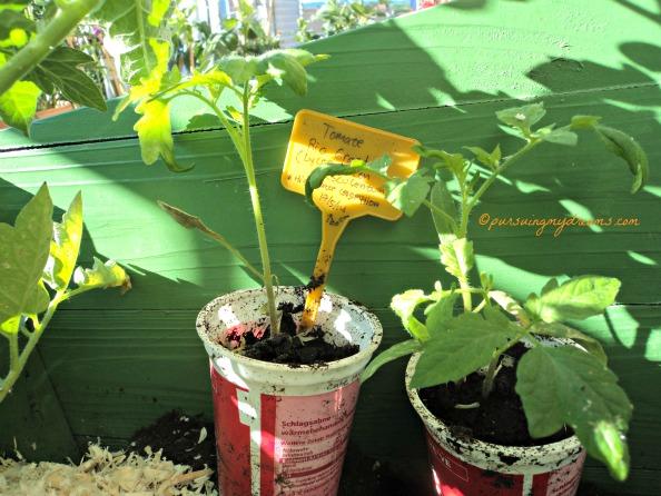 Tomat Rio Grande masih kecil
