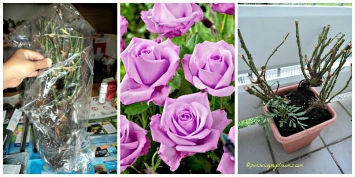 Rosen Sterling Silver. Dapat bonus root mawar pas belanja online, semoga nantinya berbunga cantik seperti digambar