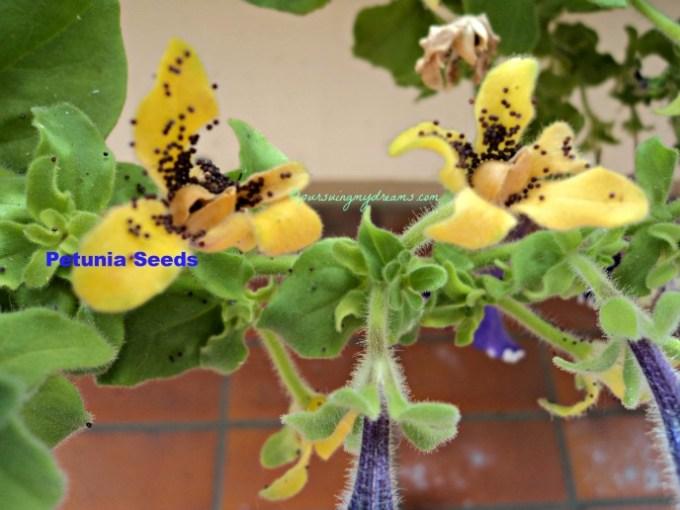 Benih atau Bibit Petunia bisa kita jumpai ketika bunga sudah kering, bongkol bunga akan pecah dan bijinya terlihat seperti pasir