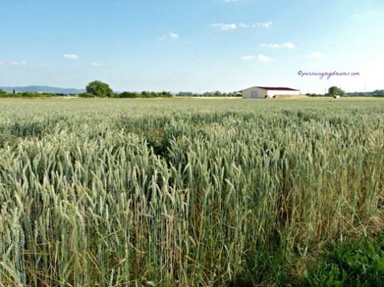 Ladang Gandum di Bensheim Jerman