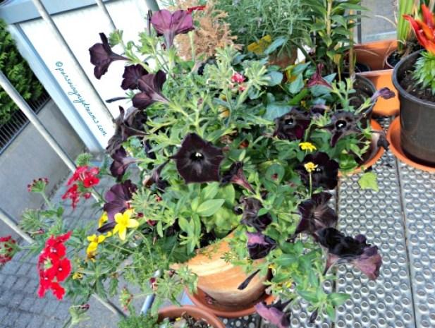 Warna Bunga yang seperti Bendera Jerman hitam, merah, emas. Saya hanya tahu yang hitam bunga Petunia