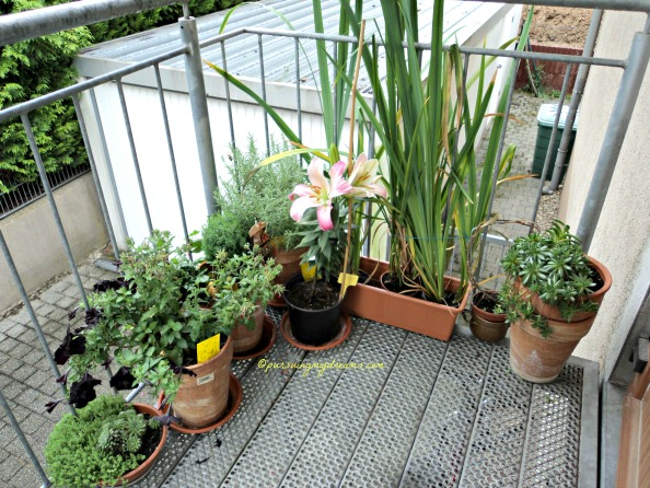 Beberapa tanaman di Tangga masuk rumah. Bunga lilinya sudah mekar