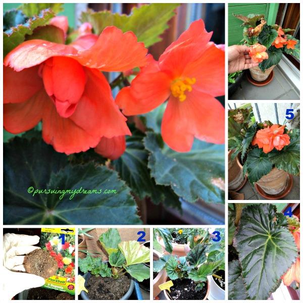 Begonia Gantung Pendula Cascade. Nanam 20.02.2014 Bunganya baru mekar pada bulan Juli