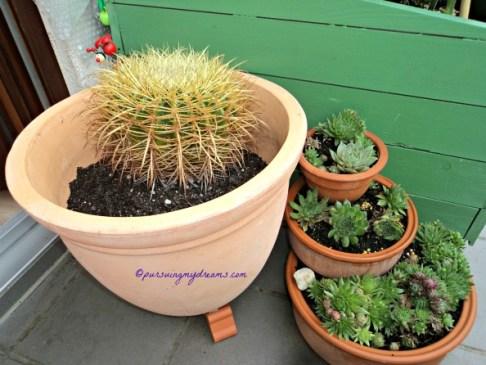 Kaktus Golden Barrel dan Sempervivum