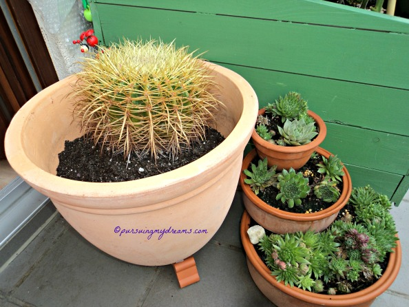 Kaktus Golden Barrel dan Sempervivum