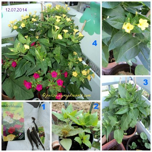 Cantiknya Bunga Pukul Empat. Wunderblume, four o'clock flower (Mirabilis jalapa)