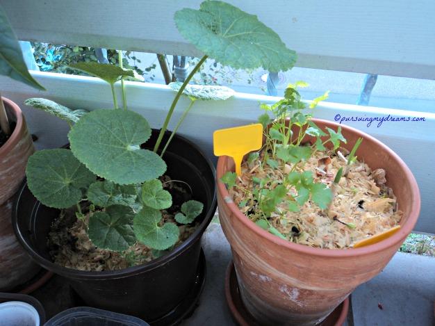 Pot kiri Hollyhocks dalam bahasa Jerman disebut Stockrose, bahasa Latinnya Alcea Rosea. Kanan Tanaman Ketumbar nanam dari biji bibit