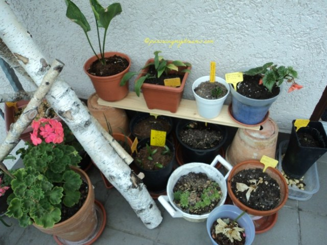 Saya baru beresin bongkar-bongkar pot tanaman nih