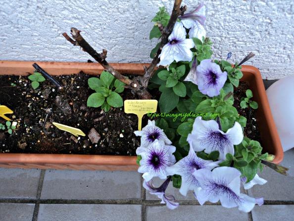 Petunia duocolor, disemai baik-baik tidak tumbuh. Ngasal aja nyebarnya malah tumbuh bagus bibitnya