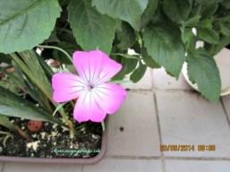 Ga tahu nama bunganya. Ini nanam bibit bunga campuran