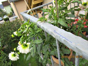 Membagi keindahan si cantik dahlia xxl convoitise ke tetangga sebelah