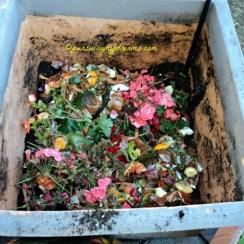 Menyiapkan pot untuk menanam bibit tulip