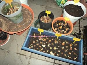 Anakan tulip dari tahun sebelumnya, ini saya tanam ulang karena sudah saatnya nanam tulip