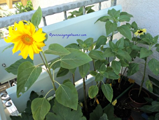 My sunflowers. Summer 2013