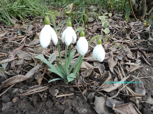 Bunga ini yang pertama kali muncul saat musim semi. Kalau sudah berbunga berarti selamat datang musim semi. Schneeglöckchen (Galanthus), snowdrop