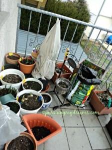 Beberapa pot nanam bunga musim semi, ada tulip, crocus, dafodil dll, sudah dibuka plastiknya ternyata turun salju dan sering hujan lagi capee dehh