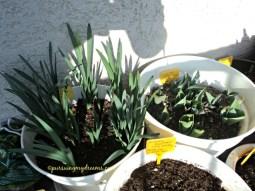 Pot kiri adalah dafodil dari tahun lalu, sudah pernah berbunga dan kini akan berbunga kembali. Pot kanan tulip