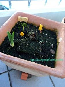 Tulip, dafodil dan lain-lain disatu pot