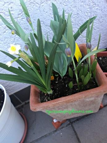 Di pot besar ini saya nanam tulip 1 umbi, dafodil dan fritillaria uva vulpis