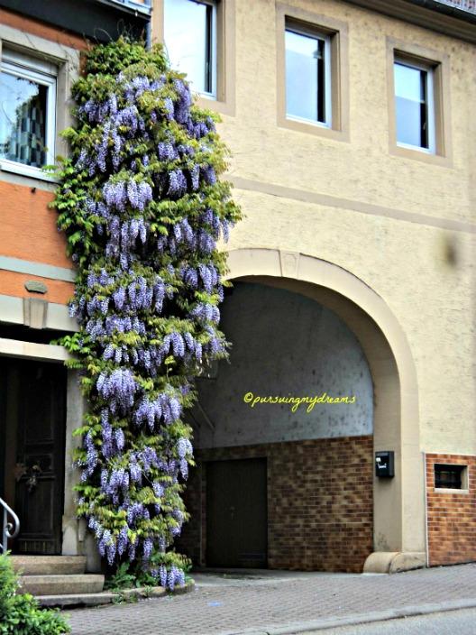 Wisteria Tree in full bloom Sinsheim Germany