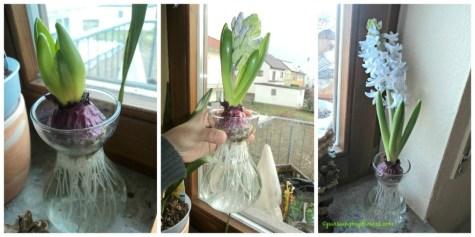 Hyacinth Blue eyes ditanam dengan metode air saja